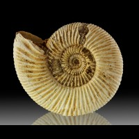"3.9"" Tight White Spiral Coiled AMMONITE FOSSIL Majanga Madagascar for sale"