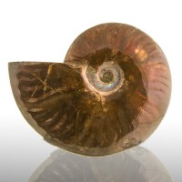 "4.6"" Cleonicerus AMMONITE FOSSIL w/Luminous Red Iridescence Madagascar for sale"