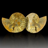 """7.8"""" AMMONITE SHELL Cretaceous Fossil 2 Halves Sawn/Polished Madagascar for sale"""