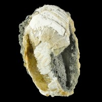 """4.5"""" Golden CALCITE Crystals In Million-Year-Old FOSSIL CLAMSHELL FL for sale"""