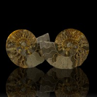 """7.7"""" TightCoiled Fossil AMMONITE SHELL 2Halves Sawn+Polished Madagascar for sale"""