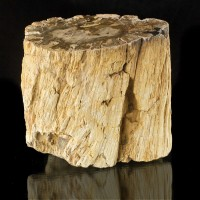 "5"" 5.1LB Polished PETRIFIED WOOD LOG End w/Detailed Bark Madagascar for sale"
