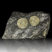 """15.7"""" LustrousGolden PYRITE SUNS in BlackSlate w/WHITE FOSSILS Illinois for sale"""