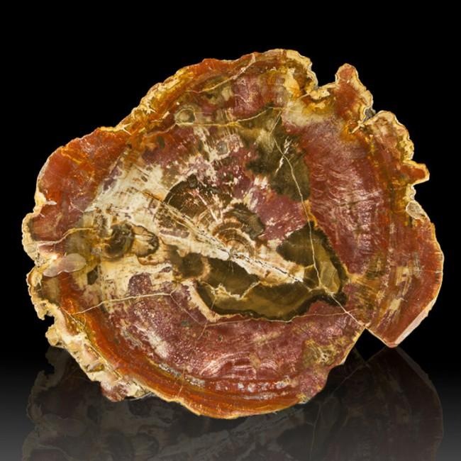 "10.4"" Brite Red Slice PETRIFIED WOOD Polished 2 Sides  Madagascar for sale"