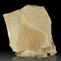 "4.7"" FOSSIL POPLAR LEAF Crisp Details in 6.7"" Matrix Eocene 60MYO Utah for sale"