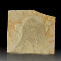 "5.3"" FOSSIL POPLAR LEAF Pristine Sharp Detailed 4.4"" Leaf inMatrix Utah for sale"
