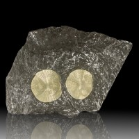 """16.5"""" Golden TWO PYRITE SUNS +Black Slate with White Fossils IL for sale"""