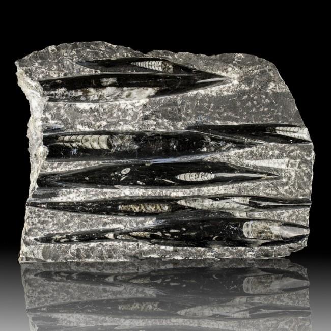 "11"" Matrix w-7 Sharp Detailed Black & White ORTHOCERAS Fossils Morocco for sale"