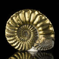 "2.2"" TightlySpiraling FOSSIL PYRITE AMMONITE Shiny Golden Color Bavaria for sale"