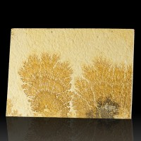 "7.2"" Complex Branching PSILOMELANE DENDRITES on Tan Limestone Germany for sale"