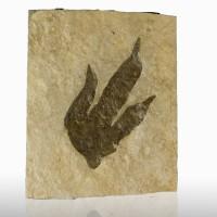 "8.3"" DINOSAUR FOOTPRINT TRACK Real Imprint w-Claws 205MYO Massachusetts for sale"