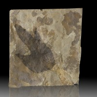 """6.5"""" 2 Real DINOSAUR FOOTPRINTS 3Toed Grallator Tracks on Front+Back MA for sale"""