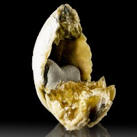 """3.5"""" Golden CALCITE Crystals Tucked Inside Miocene FOSSIL CLAM Florida for sale"""