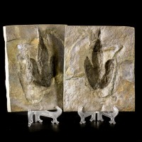 "8.3"" DINOSAUR TRACK FOOTPRINT Top&Bottom Positive&Negative Massachusets for sale"