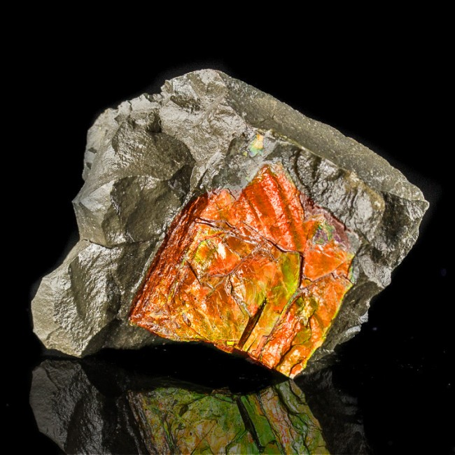 """2.8"""" Dazzling CandyRed w-Green Iridescent Flashy AMMOLITE Fossil Canada for sale"""